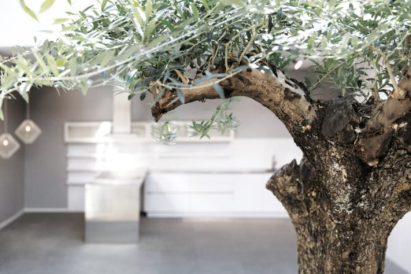 Olivenbaum.1